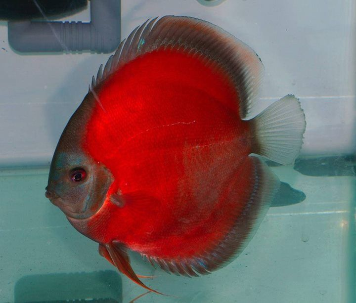Pi di 25 fantastiche idee su discus su pinterest discus for Pesce discus