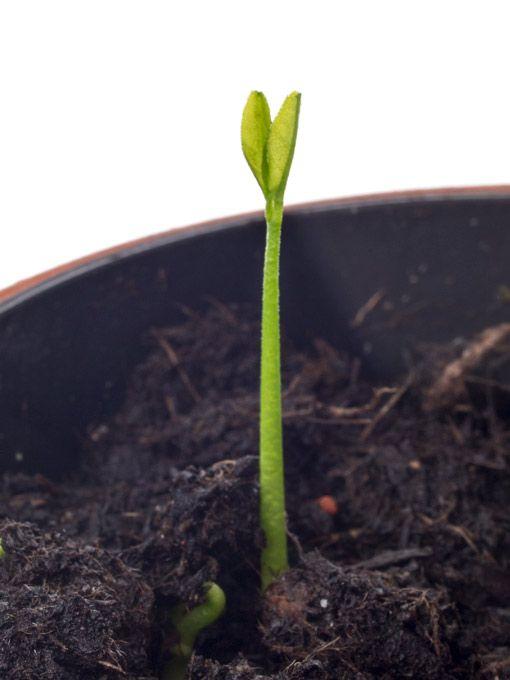 Sämling eines Zitronenbaumes, 14 Tage nach der Aussaat