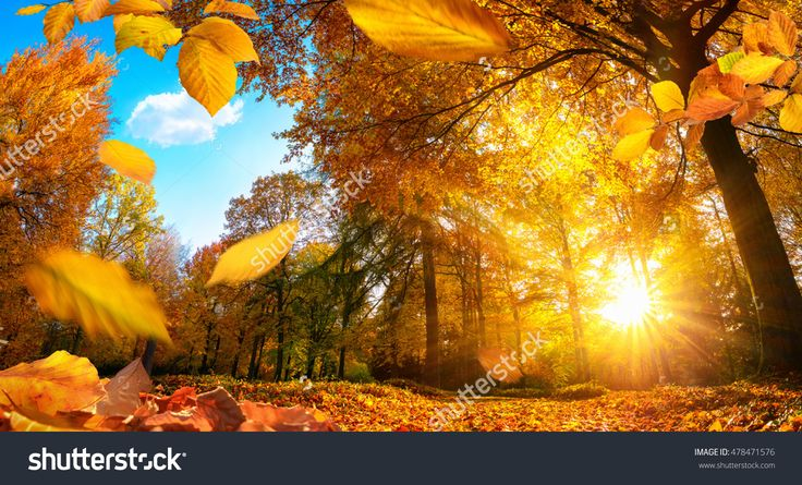 Golden Autumn Scene In A Park, With Falling Leaves, The Sun Shining Through The Trees And Blue Sky Fotka: 478471576 : Shutterstock