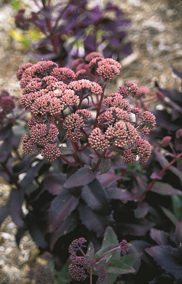 Sedum purple emperor jardinage plantes et arbuste for Plante grasse arbuste