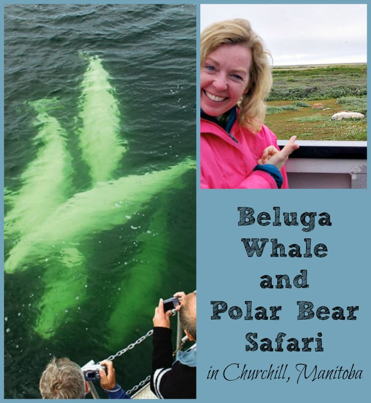 Come along on an arctic safari of sorts to spot beluga whales and polar bears in Churchill, Manitoba - the world's polar bear capital!