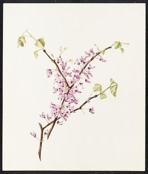From the collection at Andersen Horticultural Library. Agnes Williams (1860-1946), a watercolorist from Bucks Co., PA, created a wildflower portfolio during the 1880s and 1890s. Emma painted Cercis Canadensis (Red Bud) in New Hope, PA. It is dated May 21, 1885.