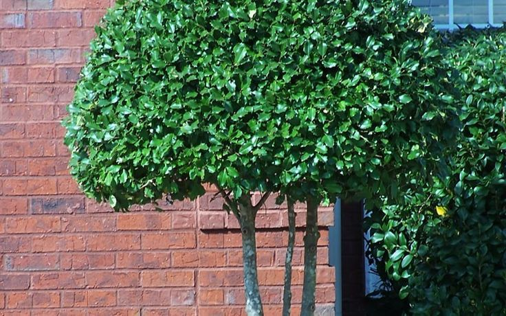 holly trees   Gardenality.com » Members » Pictures » Foster Holly Picture