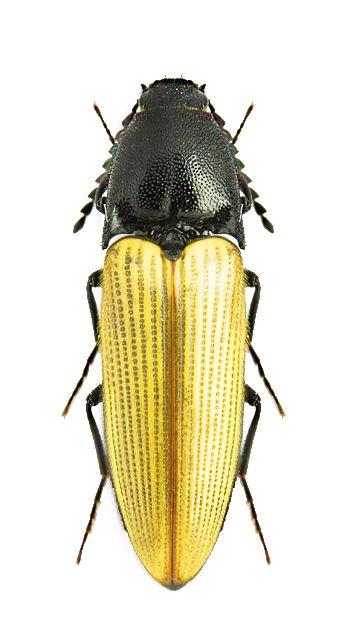 Ampedus coenobita