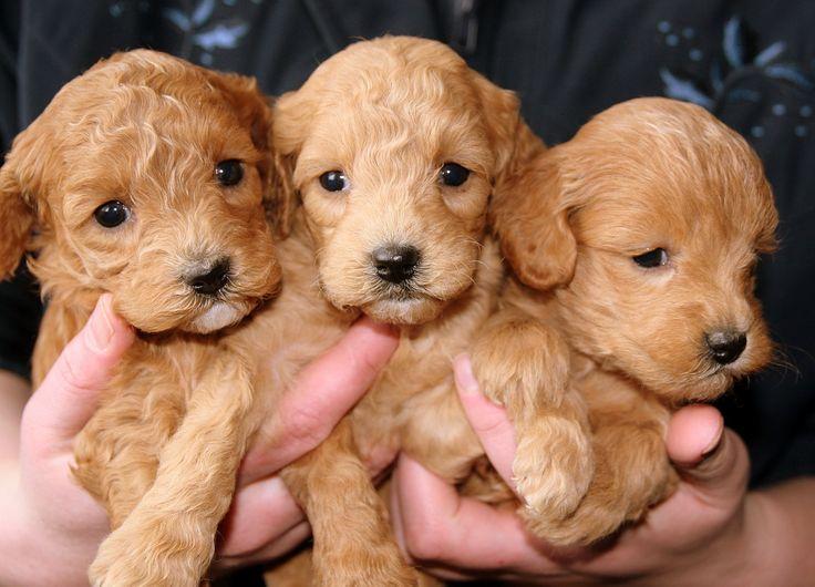 Puppies, Gouden, Hondjes
