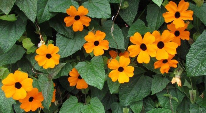 Enredadera flores naranja ojo de poeta tunbergia