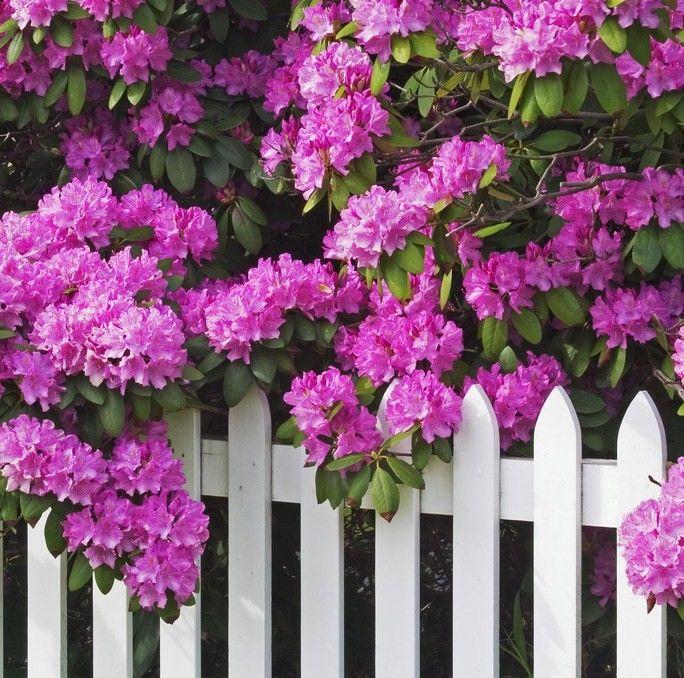 Azaleas and a white picket fence