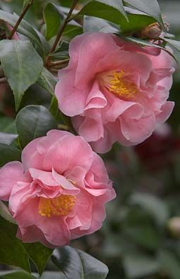 Pink Camellia ~ so beautiful in winter, love them, they are all over the squares in Savannah right now!
