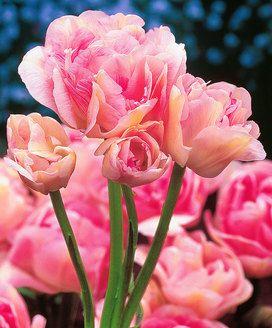 Mehrblütige rosa Tulpen
