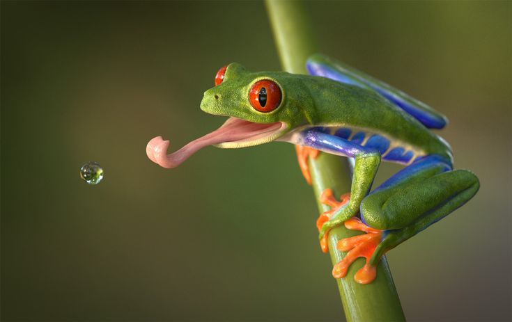 280 Red Eyed Tree Frogs ideas in 2021