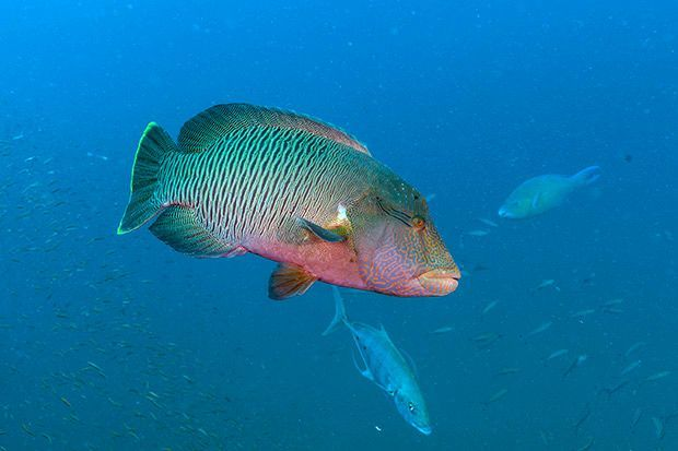 A number of species of parrotfish are found on the wreck of the Yongala.  All are born female, but some change sex becoming male in later life.-  Photo Credit: Darren Jew