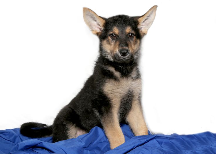 GSD  for sale on Long Island at Puppy Love in Franklin Square