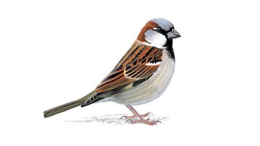 House sparrow - adult male
