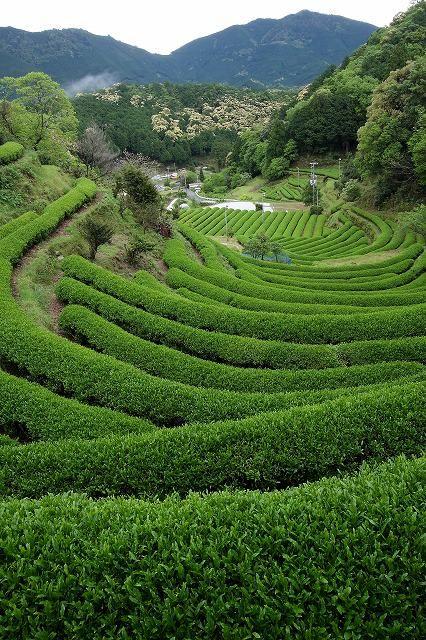 Japanese green tea plantation in Irokawa, Wakayama, Japan 色川の茶畑