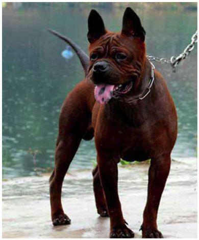 Chinese Chongqing Dog - an ancient and rare breed of dog from China