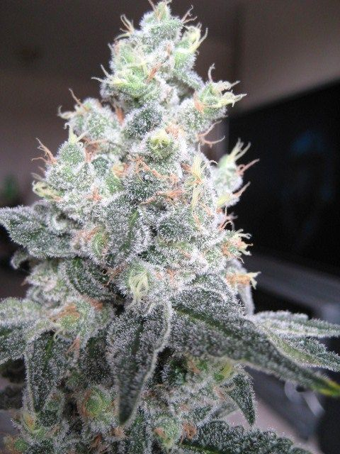 Frosty the Nugget ~ marijuanachecks.com ~ follow us on Facebook at http://www.facebook.com/legalizationchecks