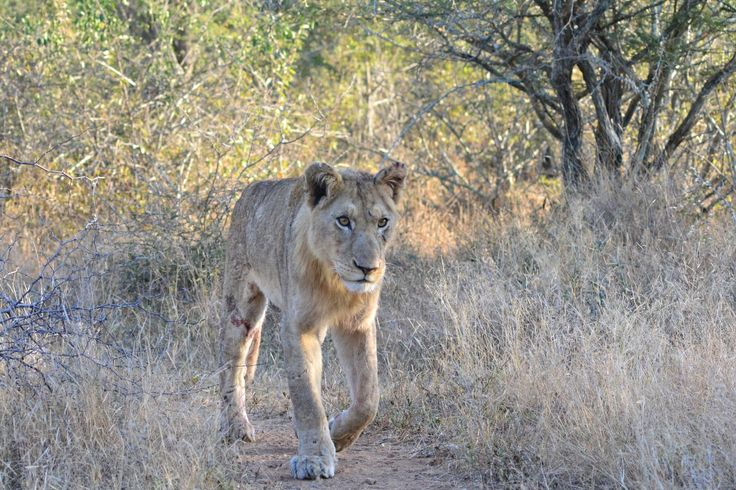 Lion in poor condition