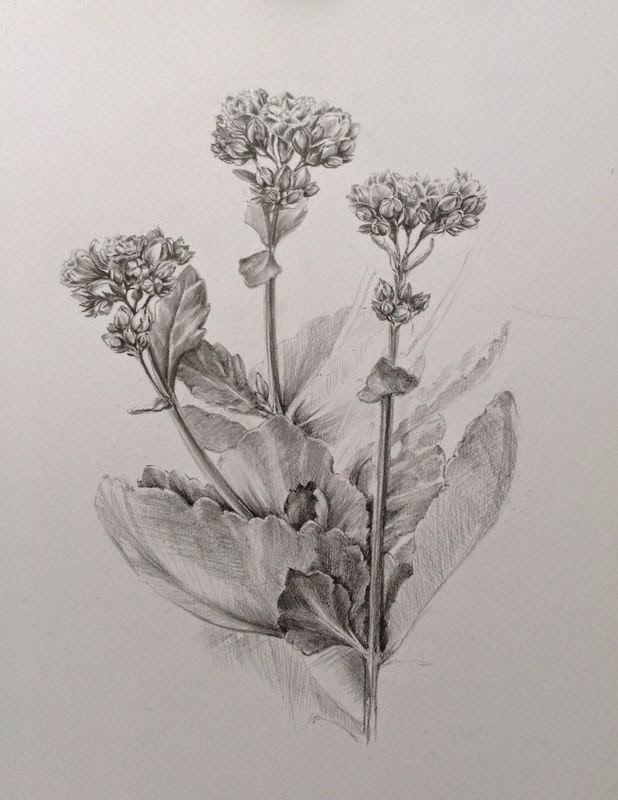 Drawing flash mob - botanical illustration. Flower, Kalanchoe
