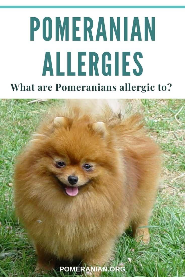 Pomeranian Allergies In 2020 Pomeranian Pomeranian Dog