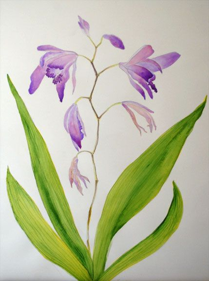"""Someone left a paper bags of backbulbs, bulb type enlarged base of the plant, of this Bletilla striata, terrestrial orchid, on a bench with a """"free"""" sign outside of our church one day. I took some an planted them and was rewarded with these these beautiful blooms. I had to record them in watercolor."""
