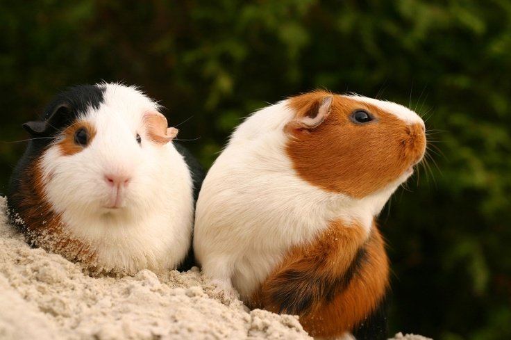 Larger pets like guinea pigs are easier for younger children to handle. #smallandcute