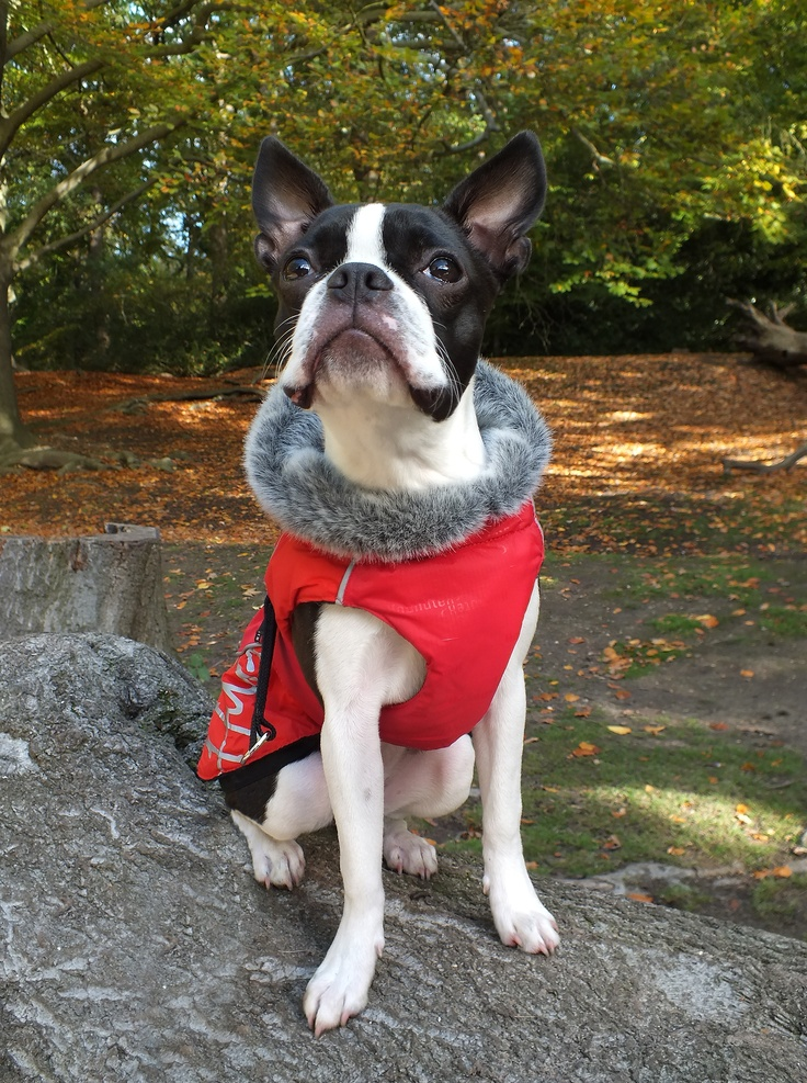 Meryl in Wimbledon Common - Boston Terrier