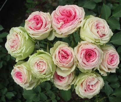 different types of roses - photo #16