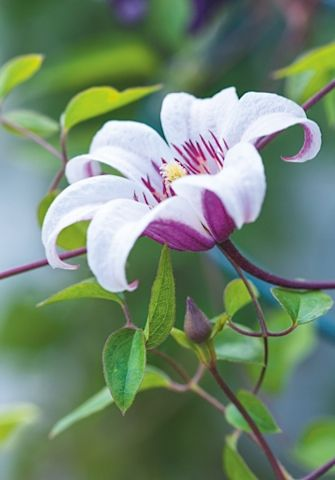 Clematis 'Princess Kate' (=Zoprika), zones 6a-9b |Late-flowering clematis selections | Gardens Illustrated