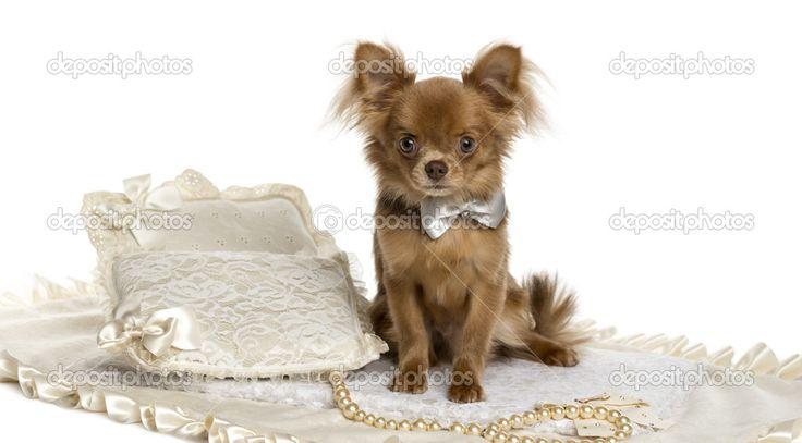 Чихуахуа щенок сидит, носить галстук-бабочку, 6 месяцев, полиэт — стоковое…