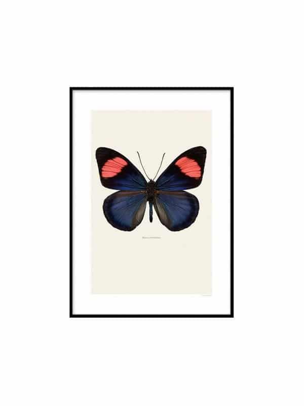 Poster Fjaril – Batesia chrysochlora - Storlek 30x40
