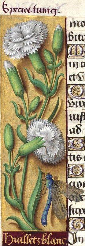 Huilletz blanc - Species tunici (Dianthus caryophyllus L. fl. albo pleno = œillet blanc à fleurs doubles) -- Grandes Heures d'Anne de Bretagne, BNF, Ms Latin 9474, 1503-1508, f°66v