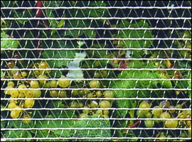 Viticulture - Sidenetting for bird control