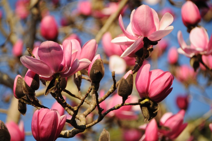 Spring has sprung in Cornwall! Magnolias in full flower at Tregothnan: Full Flowers, Flowers Bouquets, Beautiful Videos, Simply Beautiful, Beautiful Cornwall, Cornwall Spring, Fresh Flowers, Photo, Beautiful Nature