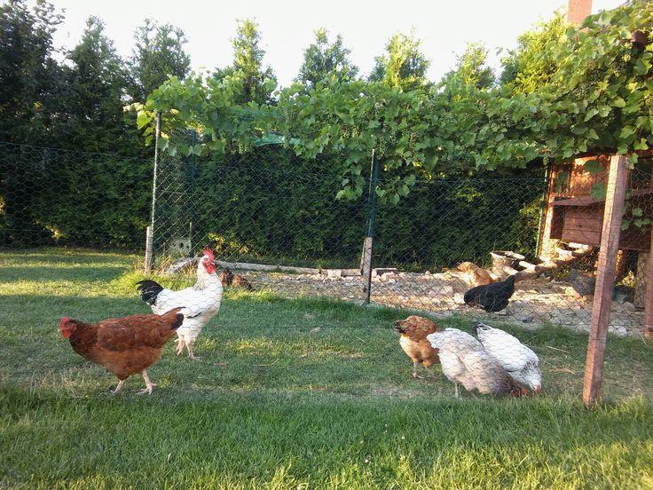 My chickens