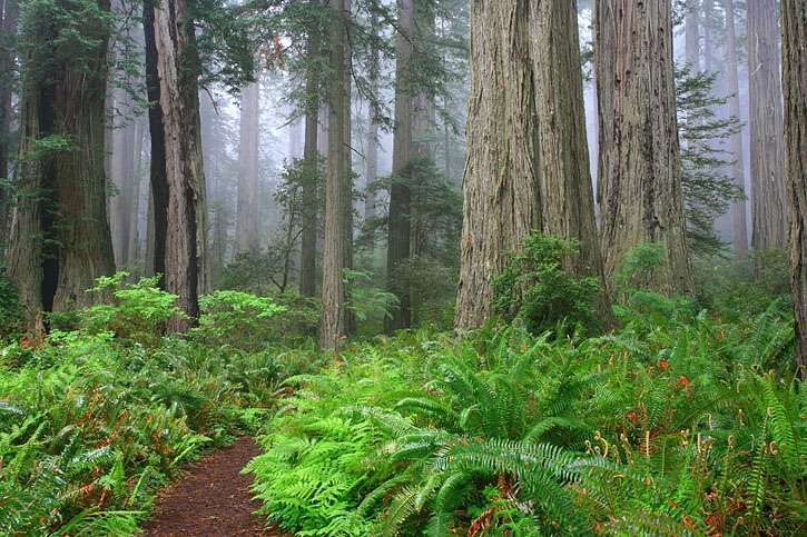 The Lady Bird Johnson Trail - Redwood National Park. Humboldt County, CA.