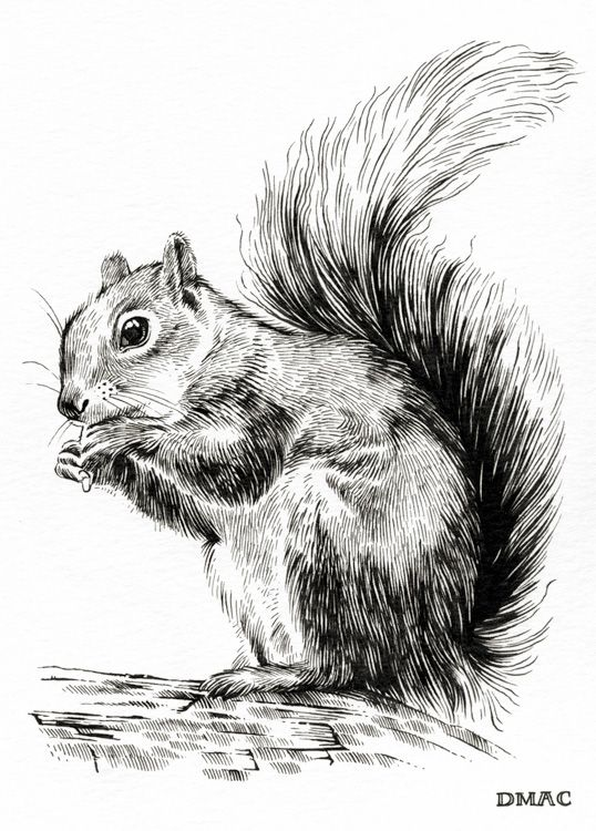 284 best SQUIRRELS- SKETCHES images on Pinterest ...