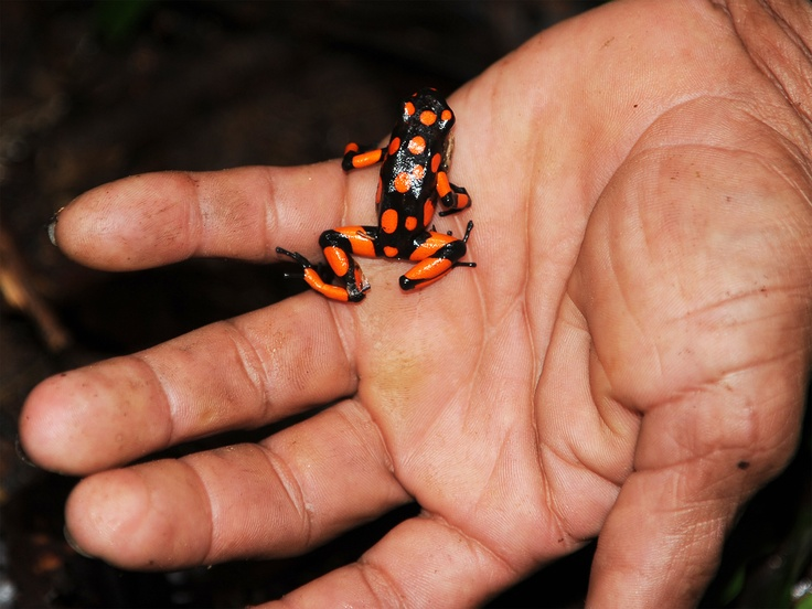 This is a Dendrobates histrionicus. Sometimes people named other frog with the same name, but the Dendrobates histrionicus is like this. With red spots.   -All rights reserved- Camila Navas Röthlisberger fotografía