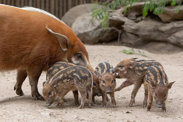 Red River Hog piglets, 3 week old nursing babies, they're just starting to nibble on solid food. Also called bush pigs, they're on in sub-Saharan rain forests. In recent years, their numbers are being adversely affected by hunting