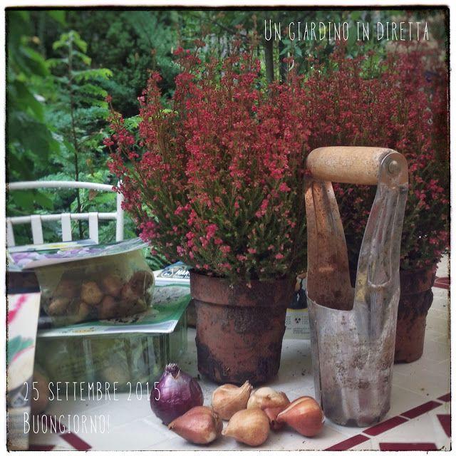 In diretta dal giardino: fiori di settembre, erica gracilis e tanti bulbi per la primavera! Leggi di più nel blog!  #giardino #giardinoindiretta #settembre #bulbi #fiori