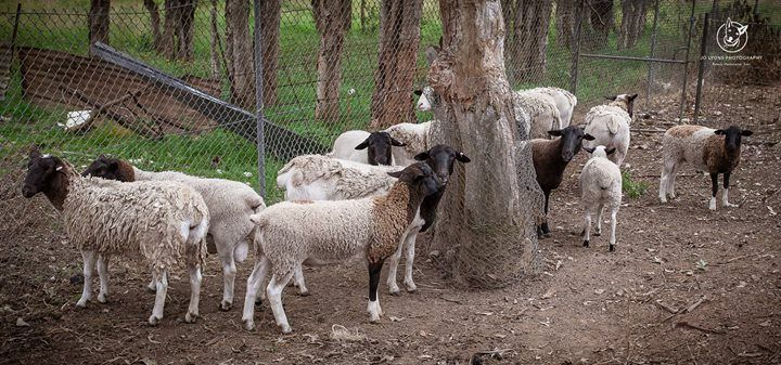 Attention all hobby farmers! There is a flock of 13 sheep at Renbury Farm Animal Shelter right now available for sale by tender. I know that's a lot of sheep... they are all different ages, genders & sizes. They were quite timid but didn't bolt away from | by Jo Lyons Photography