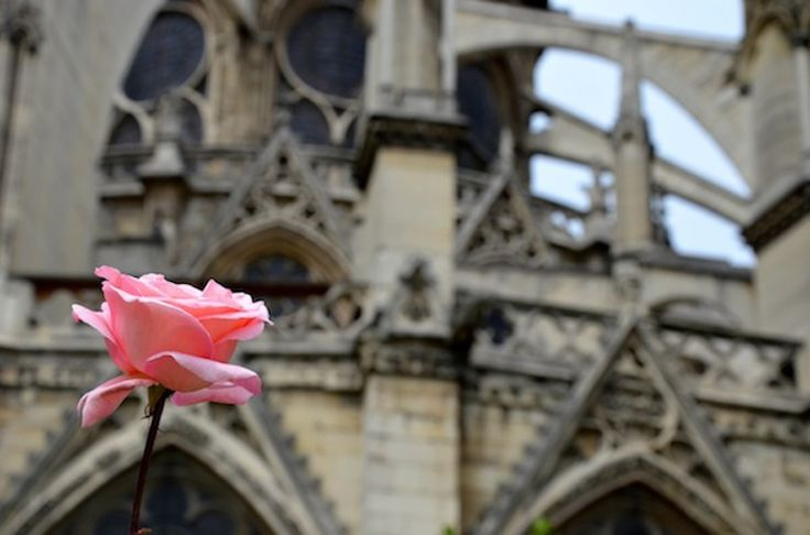 Pink rose in front of Notre Dame cathedral, Paris, France. Photographer: Sage Franch of Trendy Techie. 2011.   #travel #photography #notre #dame #rose #pink #france #paris #sage #franch #trendy #techie
