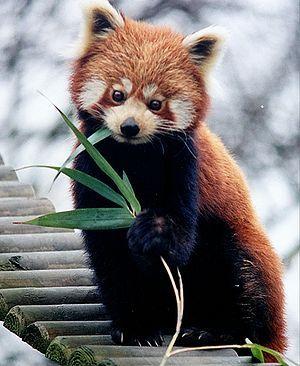 Kleiner Panda (Ailurus fulgens)                                                                                                                                                                                 Mehr