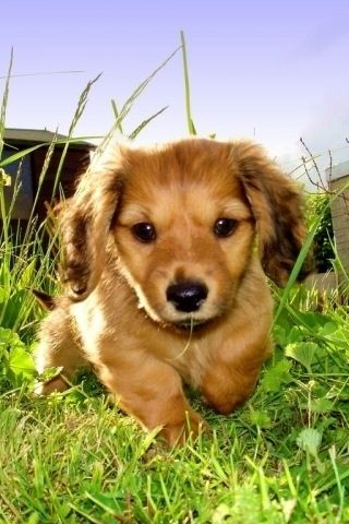 PuppiesCutest Puppy, Cute Puppies, Little Puppies, Dachshund Puppies, Mothers Day Ideas, Puppies 3, Baby Dogs, Cutest Puppies, Baby Puppies
