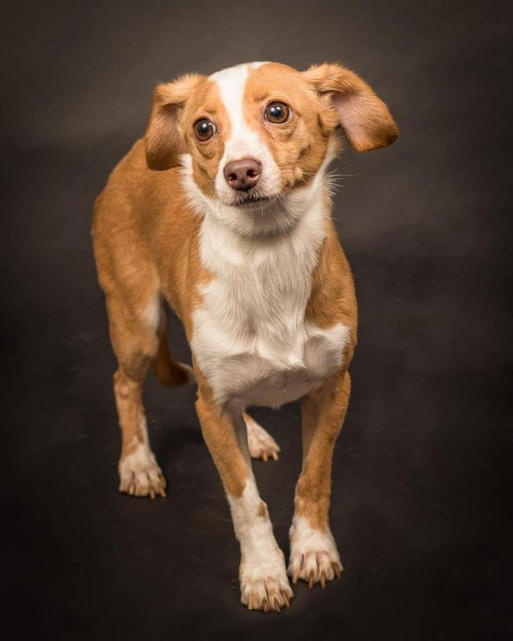 Schroeder is an adoptable Beagle searching for a forever family near Charlotte, NC. Use Petfinder to find adoptable pets in your area.