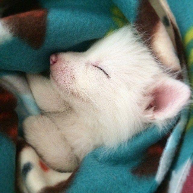 cachorro-zorro-blanco-rylai (14)