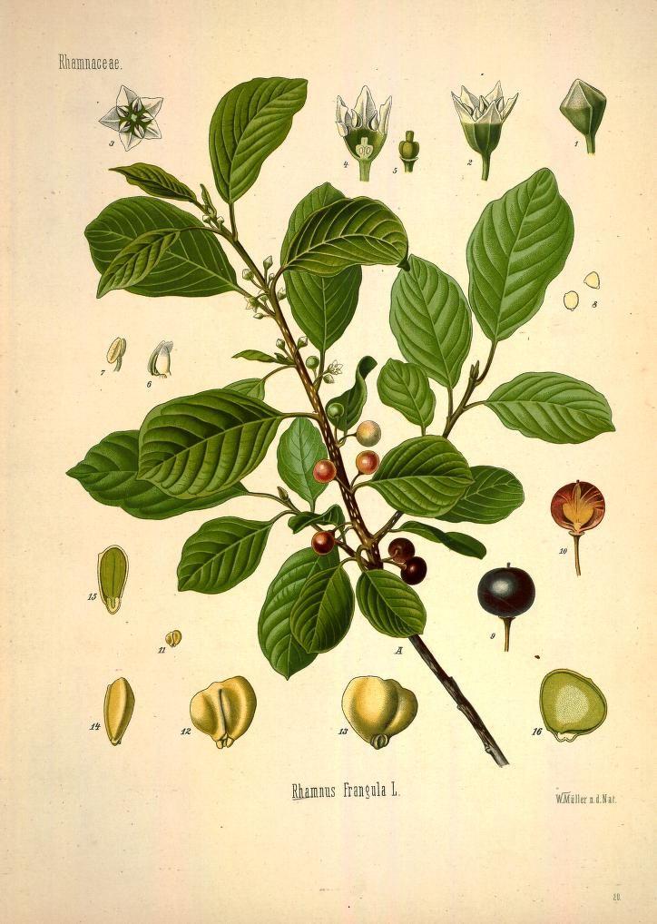v.1 - Köhler's Medizinal-Pflanzen in naturgetreuen Abbildungen mit kurz…