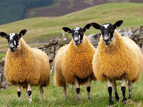 Scotch Mule Hausschaf -  The Scotch Mule ist ein absichtlich hergestellte gekreuzt Schafe aus Scottish Blackface Schafe und zeugte von Bluefaced Leicester Widder.