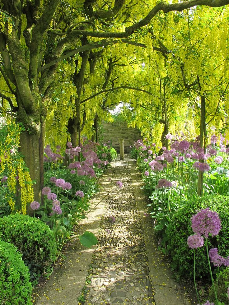 The Laburnum Walk at Barnsley House June  2013, alive with the buzzing of hundreds of bees. Alliums line the path.
