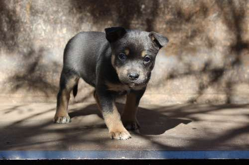 Three beautiful silver and tan pure bred kelpie pups for sale. 1 male and 2 female. 5 weeks old.D.O.B 19/07/2015. Both parents are incredible working dogs, calm workers of stock and and incredible 'thinkers' with strong builds. Truely striking pups with great potential. Further pedigree available on request - https://www.pups4sale.com.au/dog-breed/450/Kelpie-(Australian).html