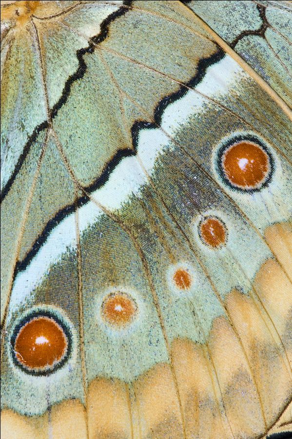 Butterfly wing close-up photograph by:  Darrell Gulin